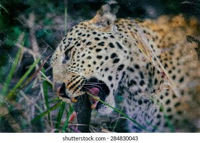 Vintage style image of a Leopard in the Okavango Delta, Botswana