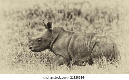 Vintage style image of a White rhinoceros or square-lipped rhinoceros (Ceratotherium simum) baby in Lake Nakuru National Park, Kenya.