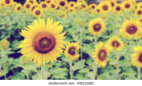 Vintage style many yellow flower blur and soft background of the Sunflower or Helianthus Annuus blooming in the field, Thailand, 16:9 wide screen