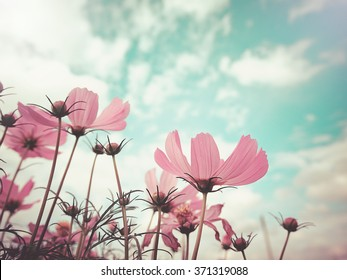 Vintage style  photo of beautiful pink cosmos flowers in garden with blue sky , selective focus. For background or poster.