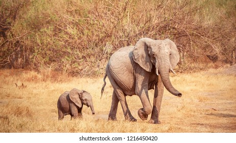 A vintage style photo of a female African elephant (Loxodonta africana), walking with her tiny young calf. Botswana.