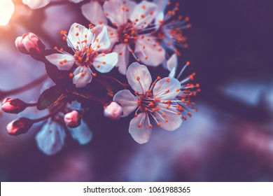Vintage style photo of a gentle cherry blossom, abstract natural background, little white flowers on tree twig, beauty and freshness of spring nature