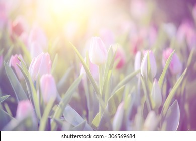 Vintage style of tulip flower at sunset