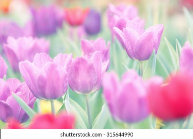 Vintage style of tulip in soft focus