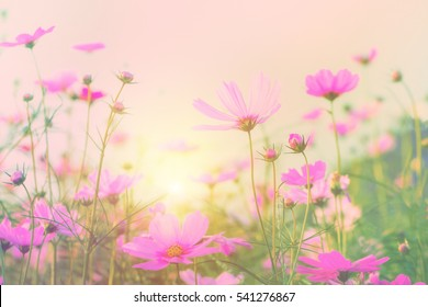 Vintage tone beautiful cosmos flower in the field