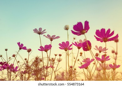 Vintage tone of cosmos flower