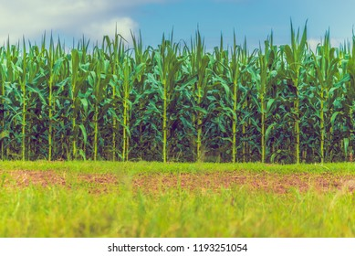 vintage tone image of corn field and cloudy blue sky day time.