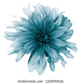 Vintage turquoise dahlia  flower white  background isolated  with clipping path. Closeup. For design. Nature.