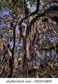 Vintage Upward Look Into Spanish Moss Draped Branches of an Isolated Live Oak Tree