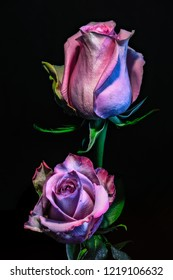 vintage violet pink rose blossom pair isolated,black background,floral fine art still life colorful bloom duo macro, detailed texture,muted light,painting style