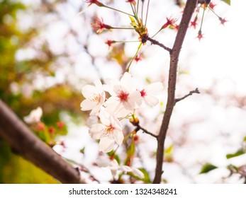 Vintage white cherry blossom (sakura) in spring season, Japan