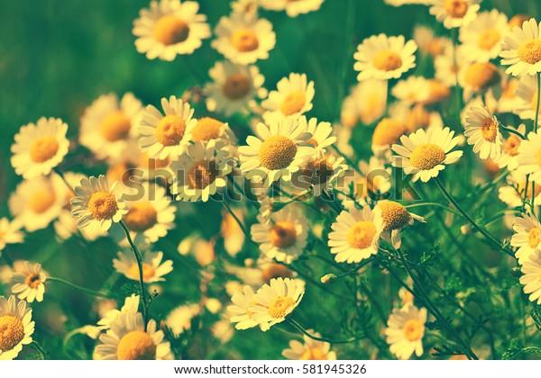 Vintage wild chamomile flowers