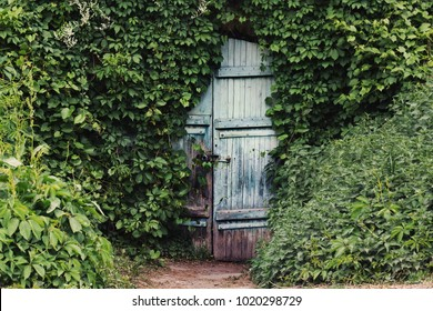 A vintage wooden blue door with padlock is ivy covered.
