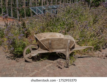 Vintage Wooden Wheelbarrow in Front of a Vegetable Bed Planted with Green Manure (Phacelia) on an Allotment in Rural Devon, England, UK