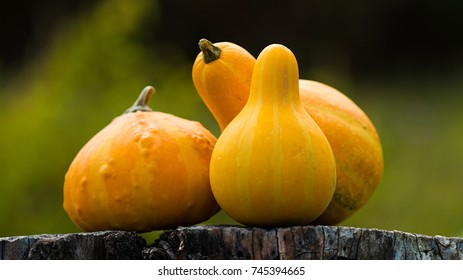 Vintage Yellow Pumpkins for Halloween. Autumn concept.