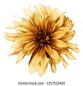 Vintage yellow-brown dahlia  flower white  background isolated  with clipping path. Closeup. For design. Nature.
