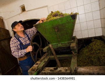 Vintner pressing grape during the vintage.