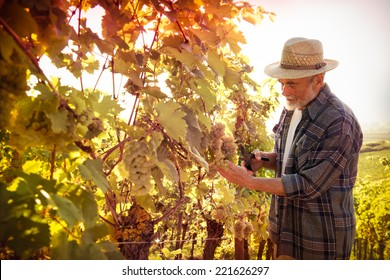 Vintner in straw hat examining the grapes during the vintage