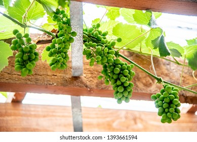 Vinyard and green grape hang on timber ceiling