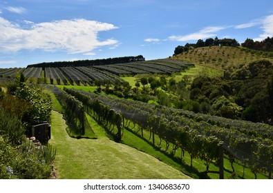 Vinyard Landscape in Waiheke, New Zealand
