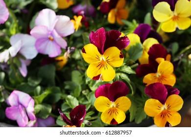 viola - Shutterstock ID 612887957