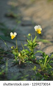 Viola arvensis. Field pansy blooming in the spring. Flora of Ukraine. Shallow depth of field, close-up.