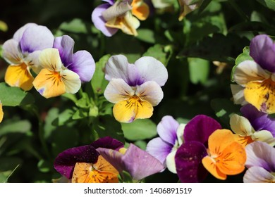 viola arvensis flower field pansy