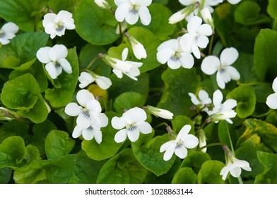 Viola canadensis or Canadian white violet or Canada violet or tall white violet or white violet flowers with green