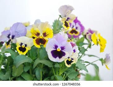 Viola, Common Violet, Viola tricolor