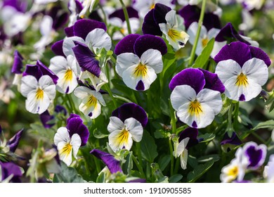 Viola flower in the garden at sunny summer or spring day.