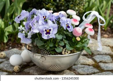 viola flowers and bellis perennis in vintage colander