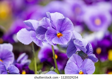 Viola flowers blossom in the springtime