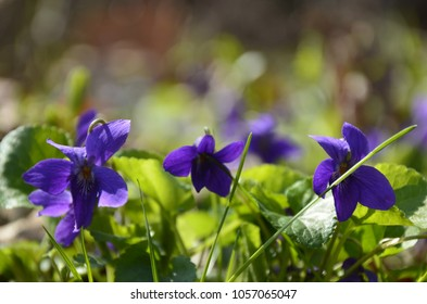 Viola odorata blooming in spring close-up. Nature background.Viola odorata - Sweet Violet, English Violet, Common Violet, or Garden Violet