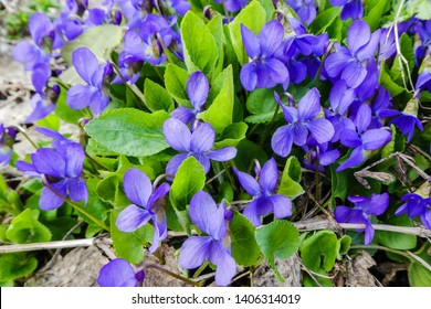 Viola odorata. Scent-scented. Violet flower forest blooming in spring. The first spring flower, purple. Wild violets in nature.