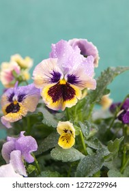 Viola plant with multicolor flowers , Viola, Common Violet, Viola tricolor on green background
