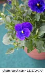 Viola plant with multicolor flowers , Viola, Common Violet, Viola tricolor