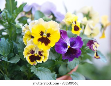 Viola plant with multicolor flowers , Viola, Common Violet, Viola tricolor