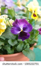 Viola plant with yellow-violet flowers , Viola, Common Violet, Viola tricolor