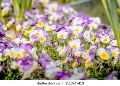 Viola tricolor also known as Johnny Jump up flowers in the sun on a meadow in the summer