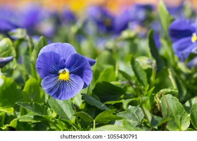 Viola Tricolor Pansy flowers with natural background
