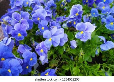 Viola wittrockiana blue flowers with green