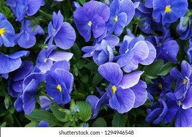 Viola wittrockiana pansy blue flowers with green