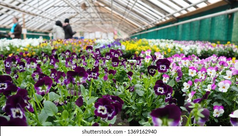 Viola x wittrockiana flowers growing in pots at a garden center. Flowering season of  Garden pansy is from spring to summer in cool climates and fall to winter in hot areas.