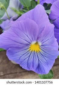 Viola zwetok sinii flora flover