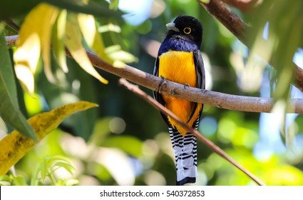 Violaceous Trogon in Costa Rica