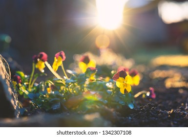 Violas in a Garden at Sunset
