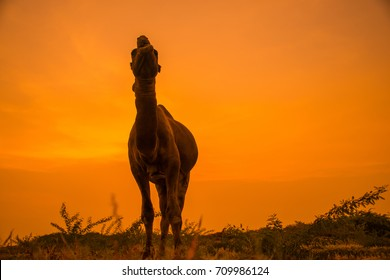 violent camel in the golden hour