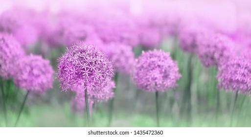 Violet allium flower (allium giganteum), purple decorative onion. Abstract blossoming floral summer natural template. beautiful lilac purple tones flowers background. gentle artistic image.  copy spac