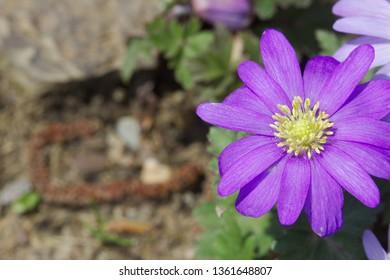 Violet Anemone blanda