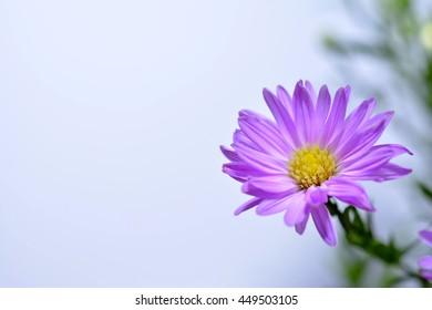 Violet aster amellus flowers, closeup